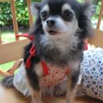 チワワのひまわり     なっちゃんの娘です。    リビングのアイドル犬でした。合掌