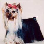 JKCチャンピオン  アール 父犬 イギリスチャンピオン・母犬 JKCチャンピオンと素敵なヨークシャーテリアでした。合掌