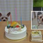福岡県 ココア君  2014.9.26     2歳のお誕生日おめでとう
